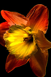 A Crimson Red Daffodil Flower Release A Vibrant Glow Against A Backdrop Of Black