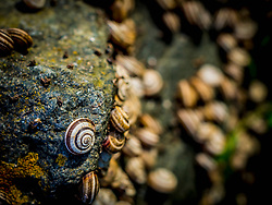 Colony of Snail (Eobania Vermiculata) on moss on rock