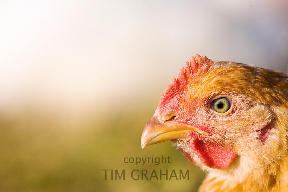 Free-range chicken of breed  Isa 257 at Sheepdrove Organic Farm , Lambourn, England