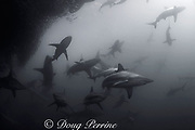 copper sharks or bronze whalers, Carcharhinus brachyurus<br /> surround baitball of sardines or pilchards, Sardinops sagax, <br /> the Wild Coast, Transkei, South Africa (Indian Ocean)