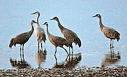 Sandhill cranes stop near Othello, Adams County, every year on their way from California to breeding grounds in Alaska.<br />
