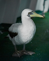 Masked Booby stowaway on the deck of the MV World Odyssey. Image taken with a Fuji X-T1 camera and 35 mm f/1.4 lend (ISO 1600, 35 mm, f/1.4, 1/60 sec).