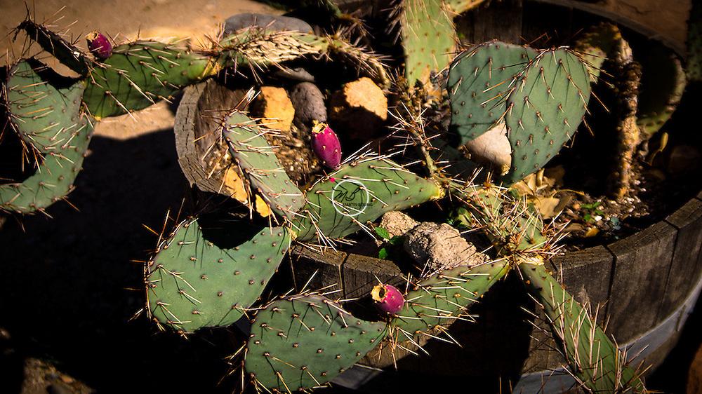 Prickly Pear Cactus, Cerrillos, New Mexico, NM