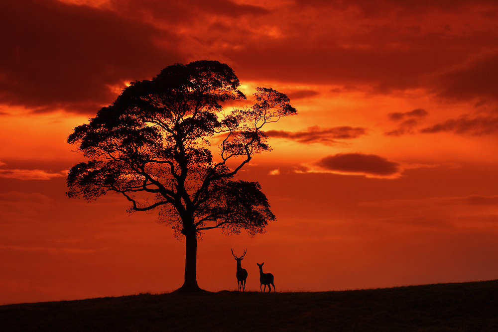 Red deer stag and hind at dusk. I returned to this exact spot for several weeks until I this image finally came together. I used the tree to add a sense of scale and shot into the sunset to create a silhouette.