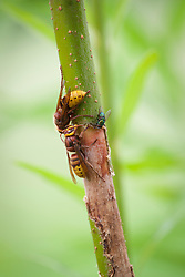 Hornets stripping the bark off willow stems