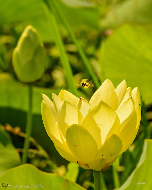 A Western honey bee (Apis mellifera) approaches an Indian Lotus (Nelumbo nucifera) Blossom.  <br /> <br /> The Western or European honey bee is the most common of the 7–12 species of honey bee worldwide, and one of the first domesticated insects.  It is the primary species maintained by beekeepers to this day for both its honey production and pollination activities. With human assistance, the western honey bee now occupies every continent except Antarctica. Because of its wide cultivation, this species is the single most important pollinator for agriculture globally. <br /> <br /> The Indian or Sacred Lotus has roots in the soil of the pond bottom, while the leaves float on top of the water surface or are held well above it. The flowers rise above the leaves and the plant normally grows to a height of about 150 cm (60 inches) and a horizontal spread of up to 3 meters (over 3 feet).  A single leaf may be as large as 60 cm (24 inches) in diameter, while the showy flowers can be up to 20 cm (8 inches) in diameter.  The lotus has a remarkable ability to regulate the temperature of its flowers to within a narrow range.  Lotus flowers have been shown to maintain a temperature of 30–35 °C (86–95 °F), even when the air temperature dropped to 10 °C (50 °F). The Lotus is one of only three species of known thermoregulating, heat-producing, plants. Lotus flowers, seeds, young leaves, and roots are all edible.  An individual lotus can live for over a thousand years and has the rare ability to revive into activity after stasis. In 1994, a seed from a sacred lotus, dated at roughly 1,300 years old ± 270 years, was successfully germinated.<br /> <br /> In Buddhist symbolism, the lotus represents purity of the body, speech, and mind as if floating above the muddy waters of attachment and desire. In classical written and oral literature of many Asian cultures, the lotus represents elegance, beauty, perfection, purity and grace.