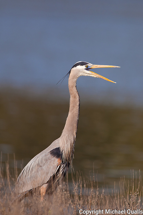 Great Blue Heron stretching and/or vocalizing.