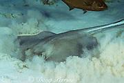 southern stingray, Hypanus americanus, formerly Dasyatis americana, feeding on organisms buried in sand, Cayman Islands ( Caribbean Sea )
