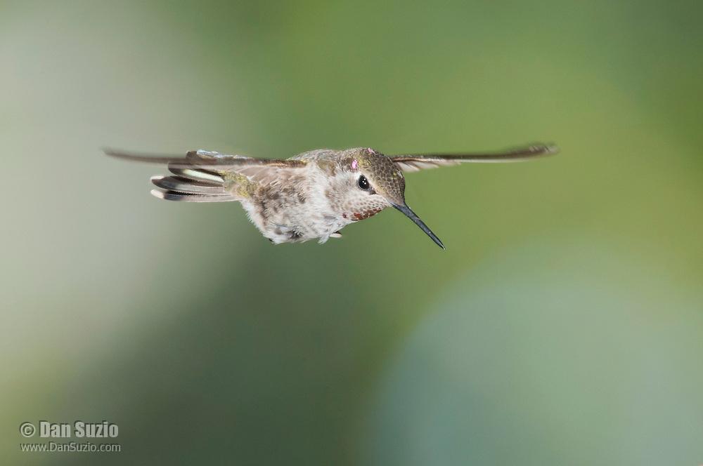 Female Anna's hummingbird, Calypte anna. Alameda County, California