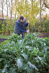 Staking Brussel sprouts in the vegetable garden with a cane. Brassica oleracea