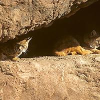 North America, Americas, USA, United States, Arizona. Arizona-Sonora Desert Museum. Bobcat, lynx rufus.