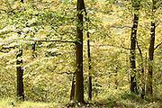 Beech Trees, Fagus sylvatica, Ranscombe Farm Nature Reserve, Kent UK, native, atmospheric, green, beautiful, peaceful,