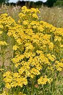Common Ragwort - Senecio jacaobaea