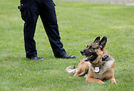 Middletown, New York - Police dog Kilo waits for his turn to perform during a demonstration at the festival following the 15th annual Ruthie Dino Marshall 5K Run and Fun Walk hosted by the Middletown YMCA on Sunday, June 5, 2011.