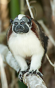 Geoffrey's Tamarin, Saguinus geoffroyi, Panama, Central America, Panama, Central America, Parque Nacional Soberania, on Panama Canal river bank, also known as the Panamanian, red-crested or rufous-naped tamarin, a New World monkey classified within the family Callitrichidae, diurnal and arboreal