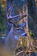 White-tailed deer in early morning.