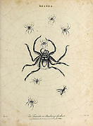 Various spiders (Aranea) Copperplate engraving From the Encyclopaedia Londinensis or, Universal dictionary of arts, sciences, and literature; Volume II;  Edited by Wilkes, John. Published in London in 1810