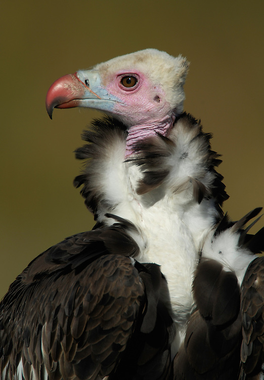 White-headed Vulture, Trigonoceps occipitalis, Serengeti NP, Tanzania
