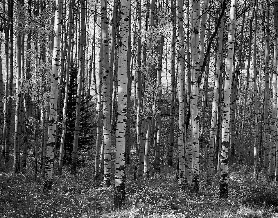 Aspen Trees in Autumn, AB