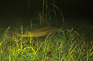 Lake Sturgeon<br /> <br /> ENGBRETSON UNDERWATER PHOTO