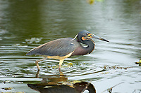 Tricolored Heron (Egretta tricolor), Arthur J Marshall National Wildlife Reserve - Loxahatchee, Florida