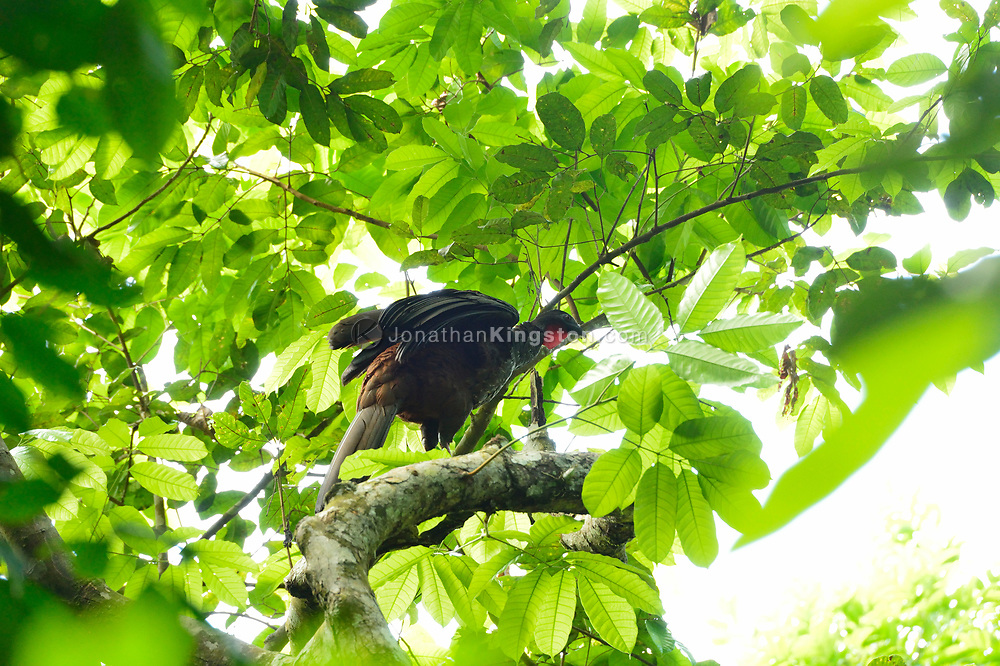 A Crested Guan (Penelope purpurascens) on Barro Colorado Island, home to the Smithsonian Tropical Research Institute, Panama.