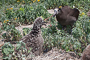 black-footed albatross, Phoebastria nigripes (formerly Diomedea nigripes), trying to feed chick by regurgitating flying fish eggs that are coated on a piece of fishing line that the birds can neither break nor digest, Sand Island, Midway Atoll, Midway National Wildlife Refuge, Papahanaumokuakea Marine National Monument, Northwest Hawaiian Islands, USA ( North Pacific Ocean )