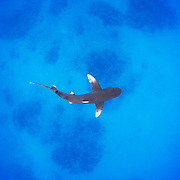 Oceanic Whitetip shark (Carcharhinus longimanus) rarely swims in this shallow water. Cat Island, Bahamas.