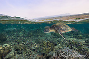green sea turtle or honu, Chelonia mydas, with Hualalai Volcano in the background, Kahalu'u Beach Park, Keauhou, Kona, Hawaii ( the Big Island ), USA ( Central Pacific Ocean )