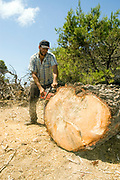 Foresters working in a natural forest, cutting down trees to thin out the forest Man slicing into a large tree trunk. Photographed in Israel, Golan Heights,