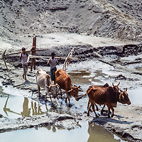 Farmers and their oxen cross a canal in Dhaka, Bangladesh, 1977.