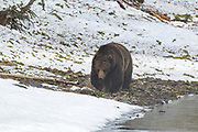 Grizzly bear in Wyoming