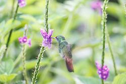 Hummingbird, Arenal Tilaran Conservation Area, Costa Rica.