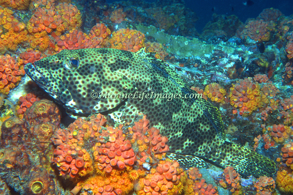 Rock Hind inhabit reefs and rocky inshore areas in Tropical West Atlantic, picture taken Ft. Lauderdale, FL.