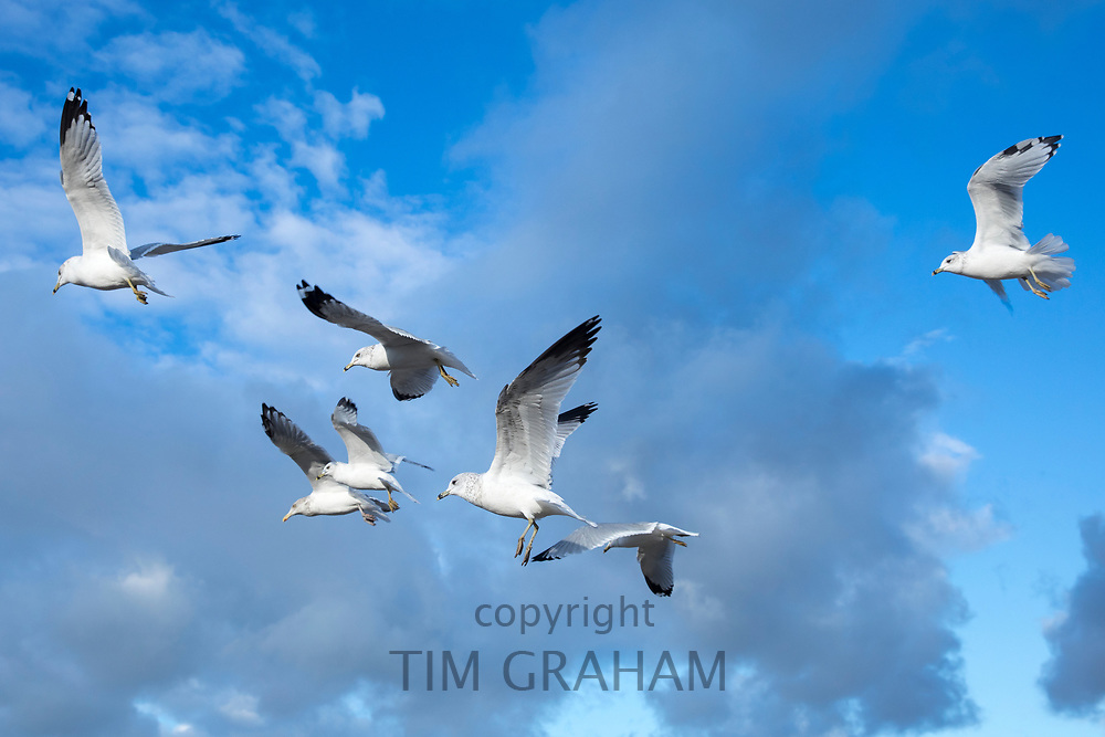 Flock of Ring-billed gulls, Larus delawarensis, in flight over Atlantic Ocean, at Plymouth Long Beach, Cape Cod