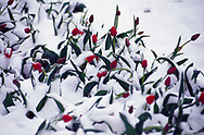 Tulips in an April snow shower, Panfilov Park, Almaty, Kazakhstan.