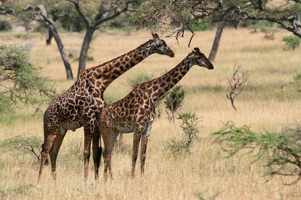 The Giraffe couple - Twiga