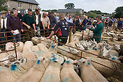 Sheep up for auction at the ancient annual Priddy Sheep Fair in Somerset, England. Buyers bid for the best quality animals while sellers gather to hear the prices their sheep have fetched during the sale in this picturesque village in the Mendip Hills. Unauthorised visitors are forbidden to enter the catle pens, avoiding the spread of epidemics like Foot and Mouth. According to tradition, Priddy Sheep Fair moved from Wells in 1348 because of the Black Death, although evidence has been found of a Fair being held at Priddy before that. There is a local legend, which says that as long as the hurdle stack shelter remains in the village, so will the Fair.  d.