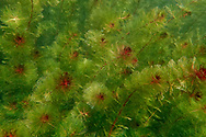Eurasian Watermilfoil<br /> <br /> Todd Pearsons/Engbretson Underwater Photography
