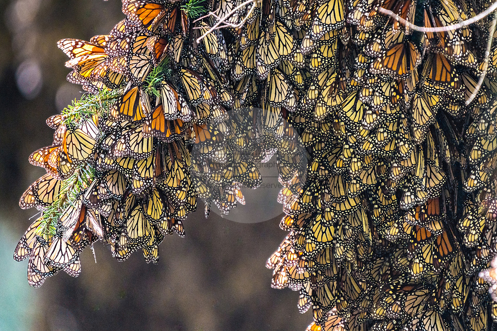 Monarch butterflies mass together on an oyamel fir tree branch at the Sierra Chincua Biosphere Reserve January 20, 2020 near Angangueo, Michoacan, Mexico. The monarch butterfly migration is a phenomenon across North America, where the butterflies migrates each autumn to overwintering sites in Central Mexico.