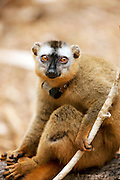 Scientists track and research the movments and habits of this Red Fronted Brown Lemur in the wild at Kirindy Mitea National Park, Madagascar