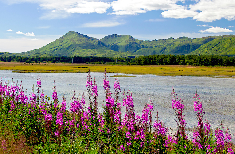 Alaska. Fireweed in the foreground of a summer scenic view along Chiniak Road, Kodiak.