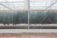 A greenhouse growing tomatoes at The Sahara Forest Project on the outskirts of Aqaba, on Jordan's southern Red Sea coastline. The farm uses desalinated sea water and greenhouses to sustainably farm crops in land that was once aris desert.