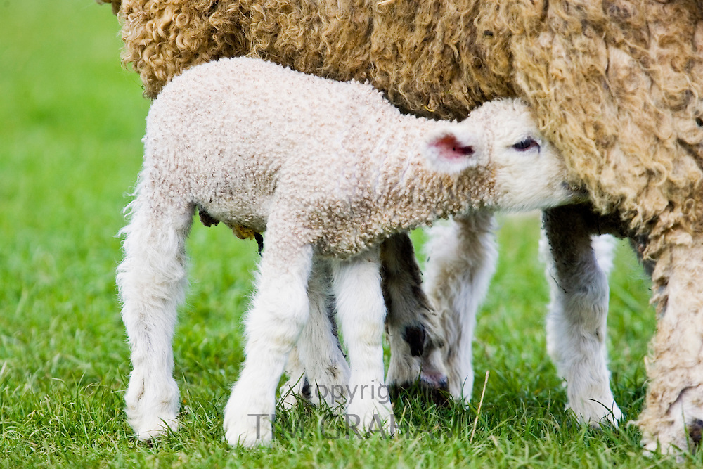 Lamb suckling from its mother, the Cotswolds, Oxfordshire, United Kingdom, UK.