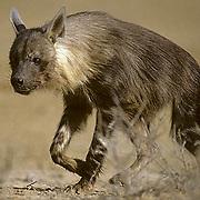 Brown Hyaena, (Hyaena brunnea) Rarely seen. Scavenging bush. Kruger National Park. South Africa.