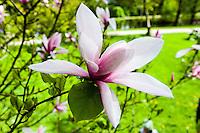 Norway, Sandnes. Pink Magnolia in Rogaland Arboret.