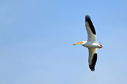 White Pelican (Pelecanus) are a genus of large water birds that makes up the family Pelecanidae. They are characterised by a long beak and a large throat pouch used for catching prey and draining water from the scooped up contents before swallowing