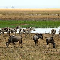 Africa, Kenya, Amboseli. Zebras and Wildebeest graze near water at Amboseli.
