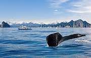 A composite image of a diving humpback whale tail and the tour boat watching it.