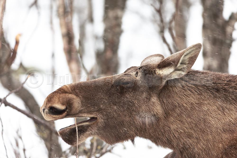 Closeup picture of a moose easing on a twig. Captured outside Langedrag Wildlife park | Nærbilde av en elg som spiser på en kvist. Bildet er tatt rett utenfor Langedrag naturpark.